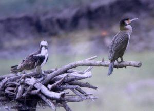 Cormorán  y águila pescadora