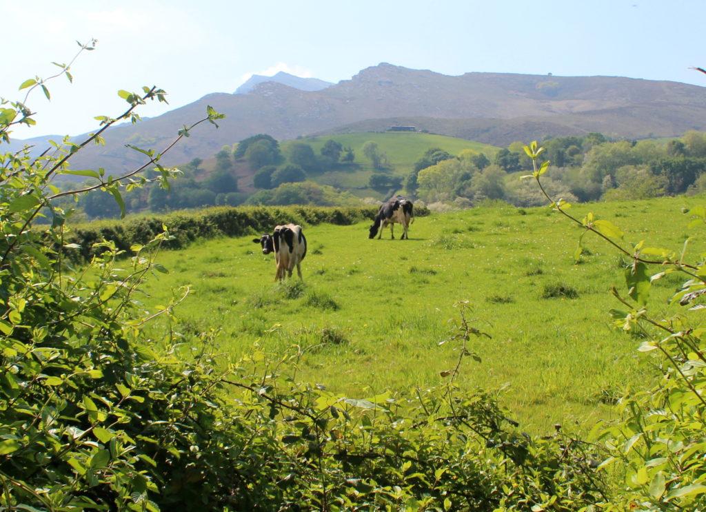 Vacas pastando en Sare