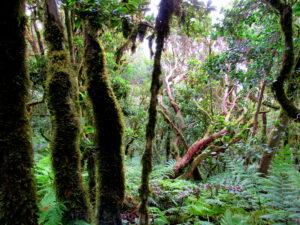 Bosque de laurisilva de Tenerife