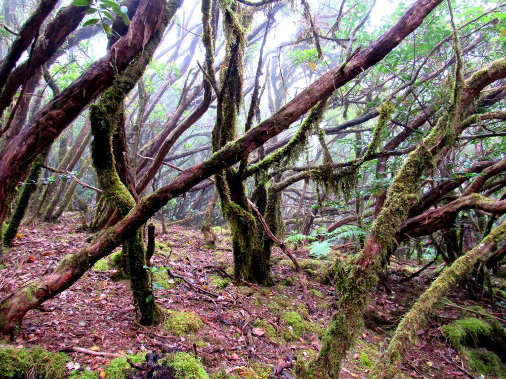 Bosque de laurisilva con niebla