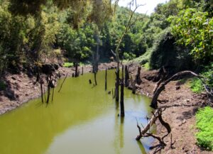 Embalse de agua verde y troncos sobresaliendo en la Ruta arboreto Meriga