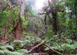 Bosques de laurisilva en el Parque Nacional de Garajonay