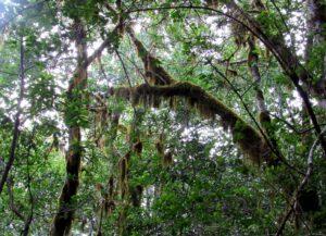 Bosque de laurislva en La Gomera