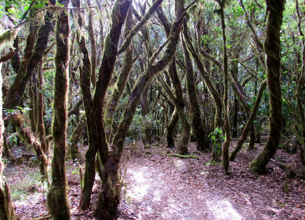 Bosque de Laurisilva en La Gomera