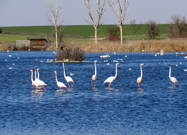 Flamencos en las lagunas de Navaseca