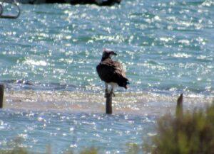 Águila pescadora en el Parque Natural de las Sabinas