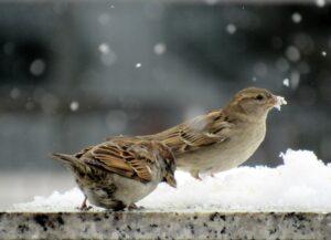Gorriones en la nieve