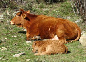 Vacas en la senda Cascada del Hornillo