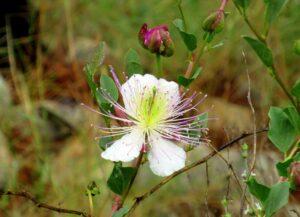 Flores silvestres en la senda morisca de Ricote