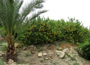 Limoneros del valle de Ricote