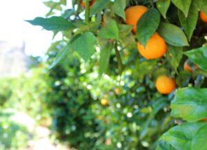 Naranjos del Valle de Ricote