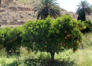 Naranjos y palmeras Valle de Ricote