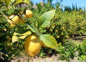 Limones del Valle de Ricote