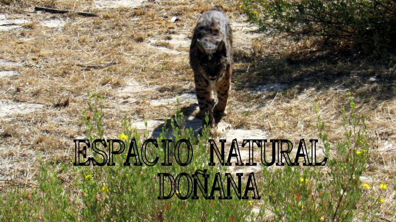 Lince de Doñana
