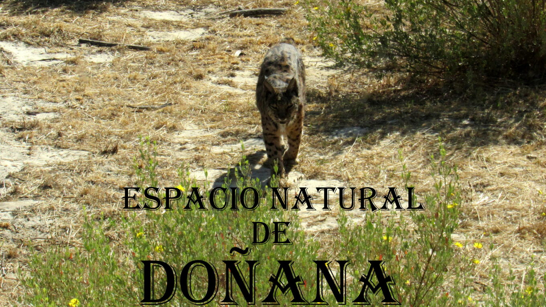 Lince en Doñana