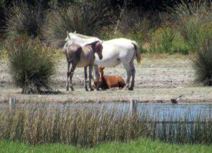 Caballos marismas Doñana