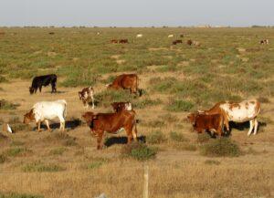 Vacas mostrencas en Doñana